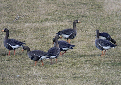 Photo of grazzing Greenland White-Fronted geese on grass